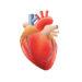 Boletín 111. El Corazón y sus Funciones